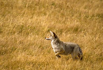 Coyote-218