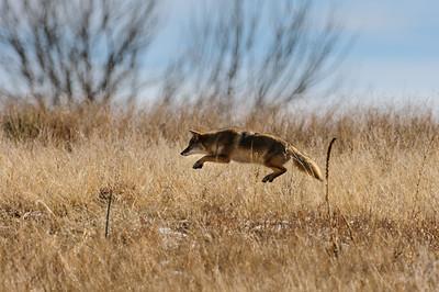 Coyote-770