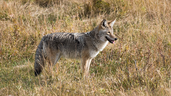 Coyote in the Lamar Valley, Yellowstone