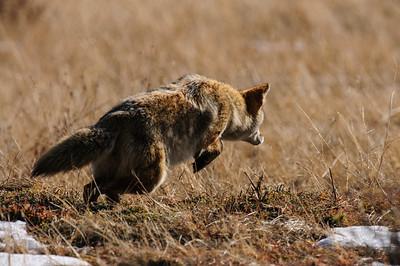 Coyote-749