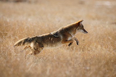 Coyote-596