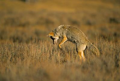 Coyote-187