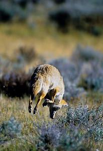 Coyote-138