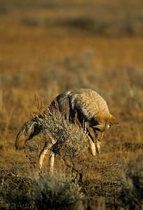 Coyote-170
