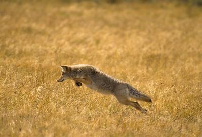 Coyote-186
