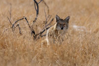 Coyote-605