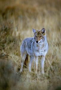 Coyote-142