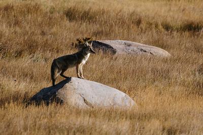 Coyote-506