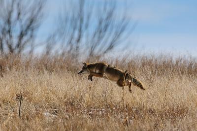 Coyote-769