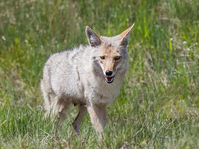 Coyote Surprised