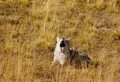 Coyote-240