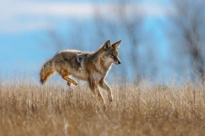 Coyote-673