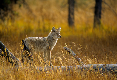 Coyote-116