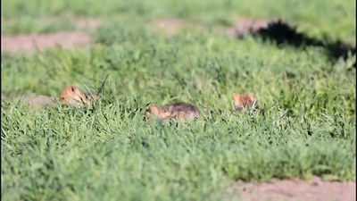 """Coyote Pups at Play"" - A pack of newborn coyote pups romp, jump and play in the morning sun.  Grand Teton National Park, Wyoming."