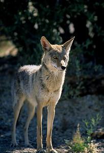 Coyote-260