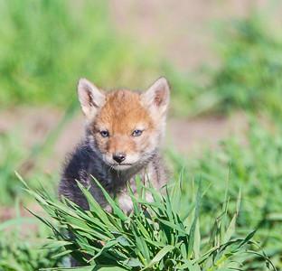 Coyote Pup On Alert