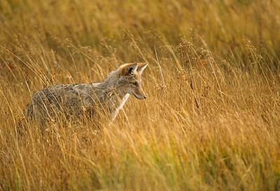 Coyote-220