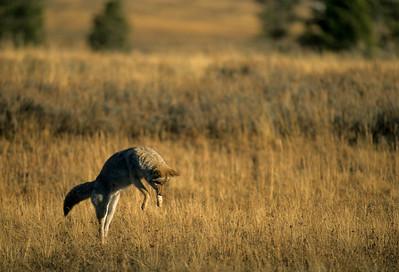 Coyote-146