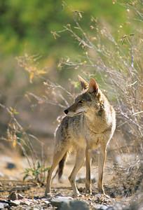 Coyote-248