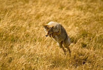 Coyote-140