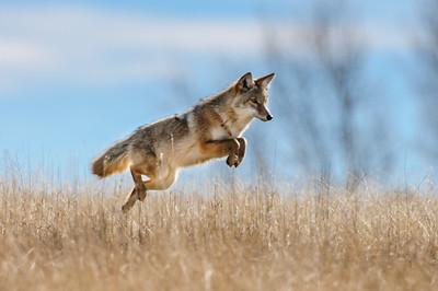 Coyote-672