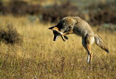 Coyote-136