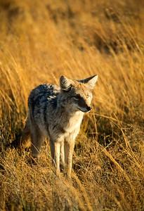 Coyote-108