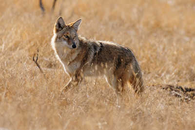 Coyote-665