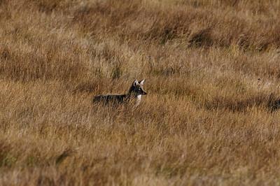 Coyote-492