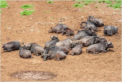 African Buffalo, Mount Kenya National Park, Kenya, 30 October 2007