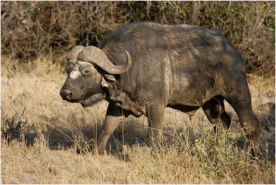 African Buffalo, Shimba Hills, Kenya, 22 August 2005