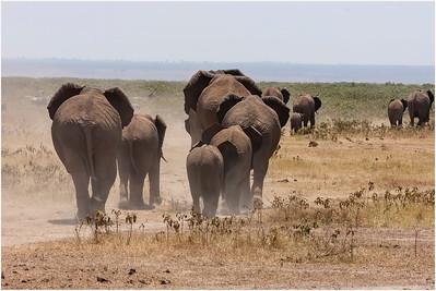 African Elephant, Amboseli, Kenya, 23 August 2005