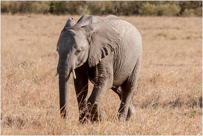 African Elephant, Masai Mara, Kenya, 6 November 2007