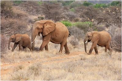 African Elephant, Samburu, Kenya, 27 August 2005