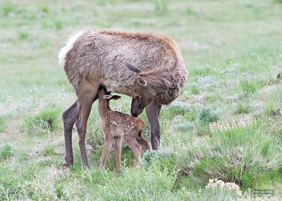 Elk, Yellowstone NP, WY, USA May 2018-3