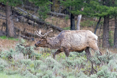 Elk, Yellowstone NP, WY, USA May 2018-1