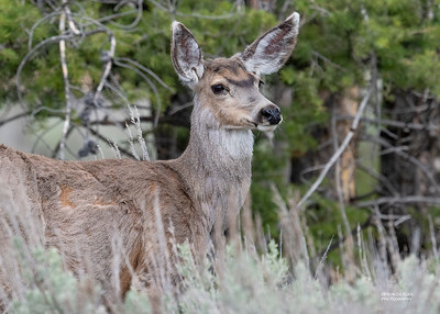 Mule Deer, Yellowstone NP, WY, USA May 2018-4