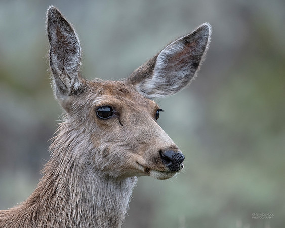 Mule Deer, Yellowstone NP, WY, USA May 2018-3