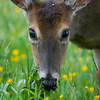 White-tailed Deer, Cades Cove, Great Smoky Mountains National Park, Tennessee