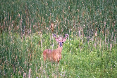 Buck in the cattails.