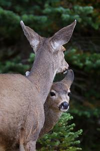 Blacktail Deer