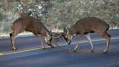 Black-tailed bucks