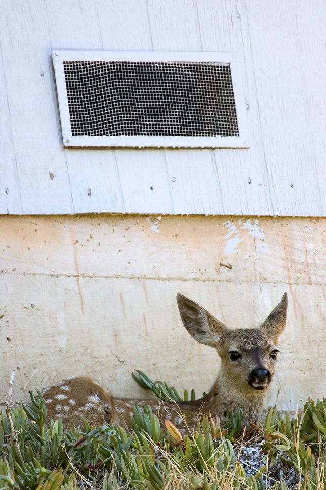 Blacktailed Deer fawn, San Rafael neighborhood, 7/29