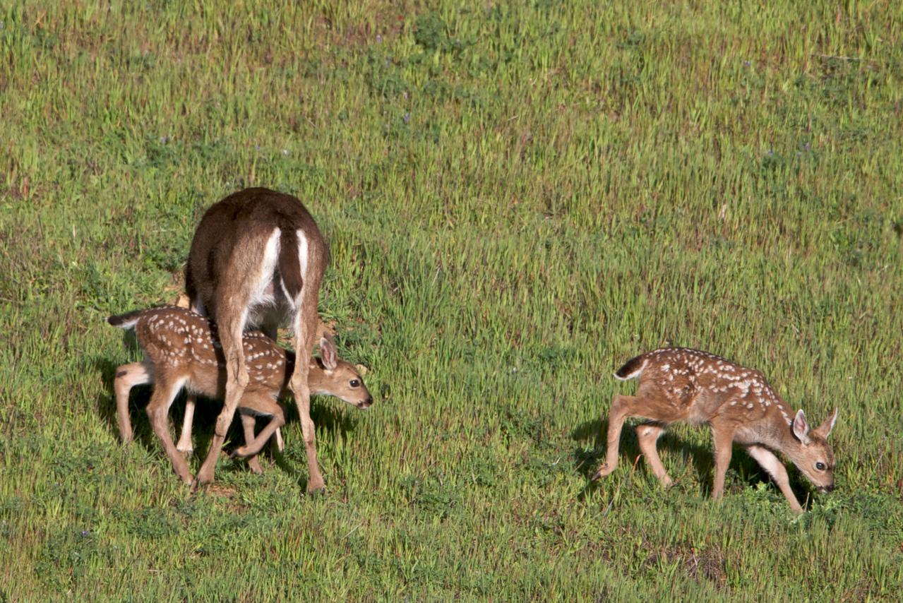 Blacktailed deer fawns