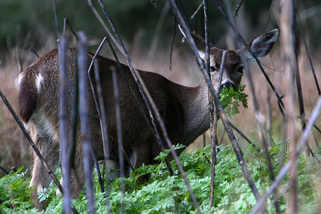 Blacktailed deer, Pt Reyes