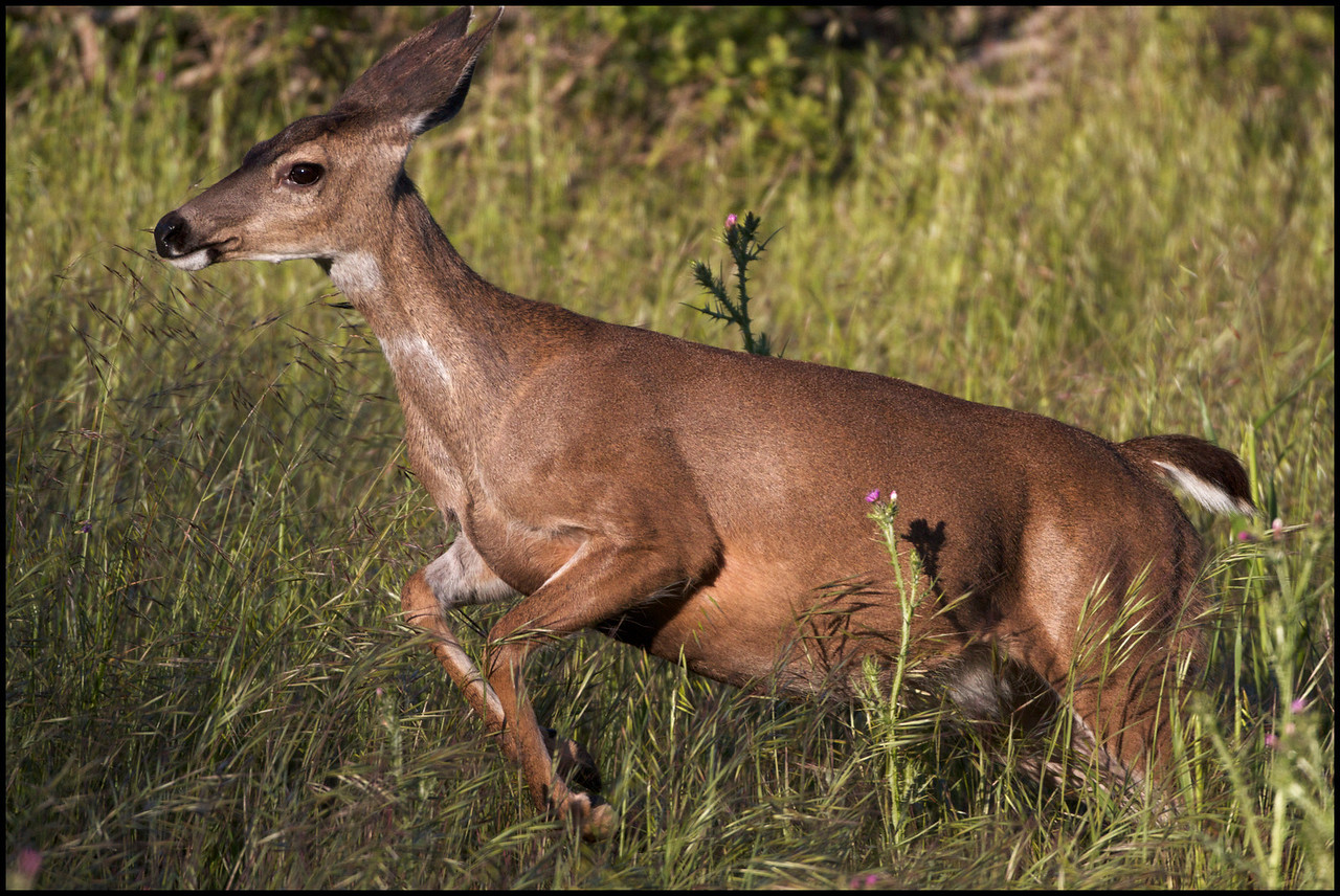 Black-tailed doe chasing off her yearling (fawn from last year)