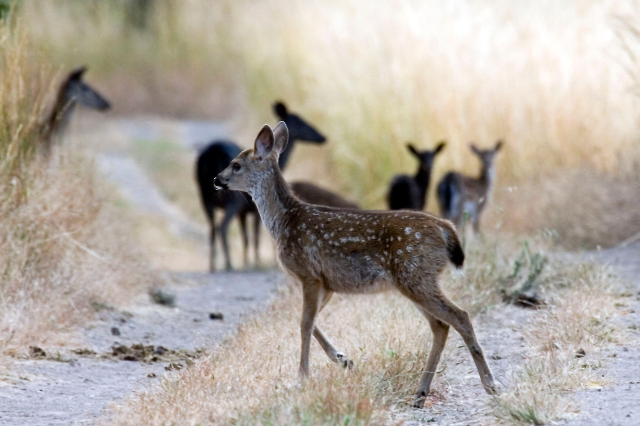 Blacktailed deer fawn in FG and Fallow deer and fawns in BG, Point Reyes, 07.08.07