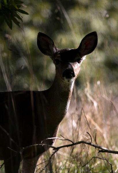 Black tailed deer, Point Reyes