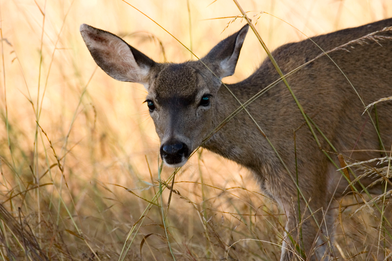 Blacktailed deer, Point Reyes, 7/5