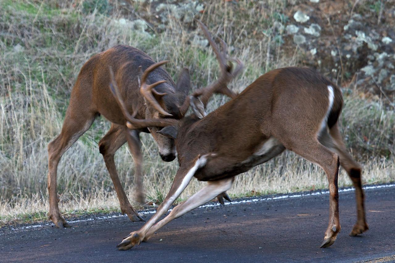 Black-tailed bucks fighting